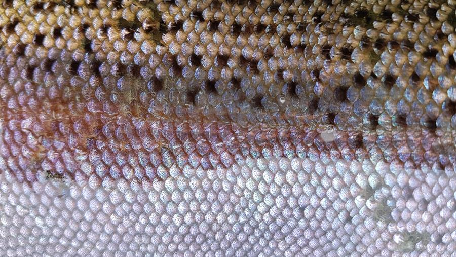 Taupo Fishery Management Newsletter banner-closeup of brown trout