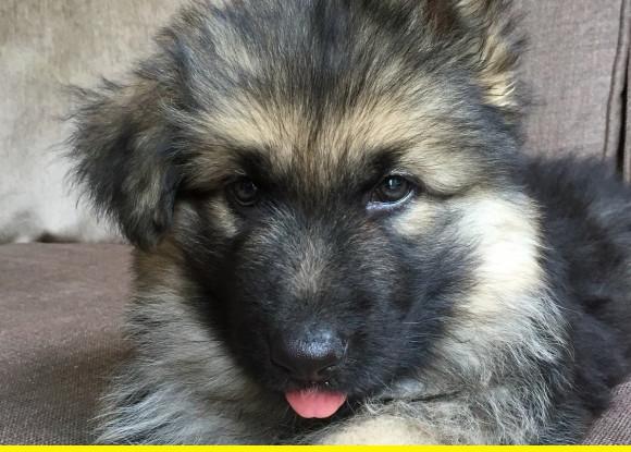 SHep pup.