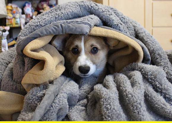 Corgi puppy.