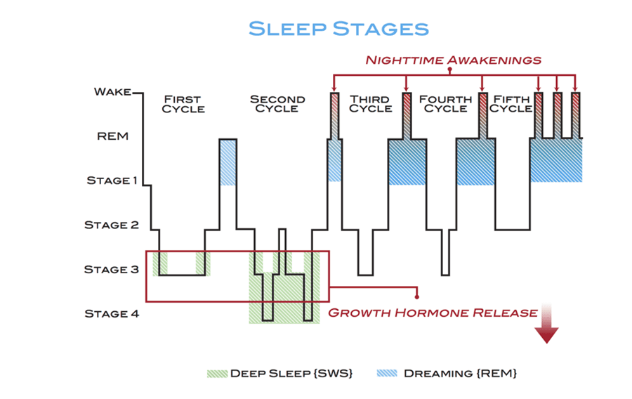 Diagram of the sleep stages